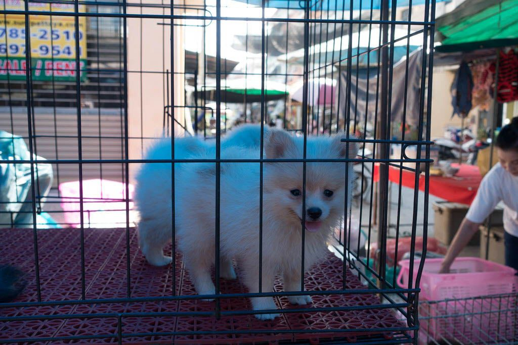 Soi Buakhao Market Puppy for sale
